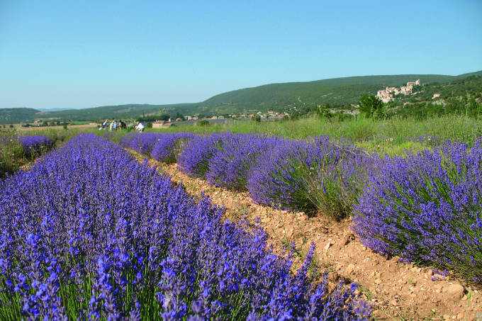How I use Lavender Essential OIl - Young Living Lavender Field